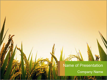 Meet Sunrise at Rice Field PowerPoint Template & Infographics Slides