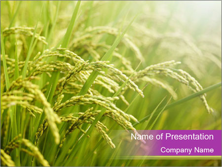 Chinese Rice Field PowerPoint Template & Infographics Slides